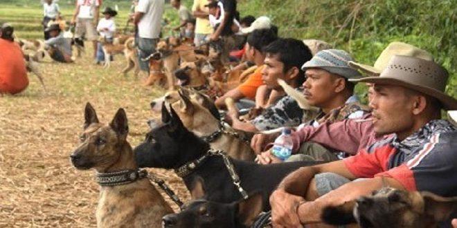 Buru Babi di Ranah Minang, Antara Hobi dan Tradisi