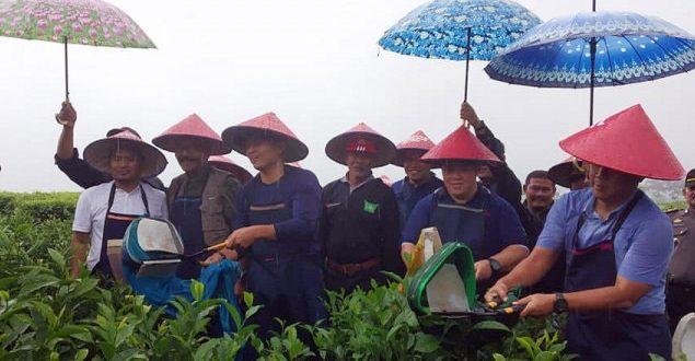 Awal Tahun 2019 Mitra Kerinci Gelar Wiwitan Petik Teh di Solok Selatan